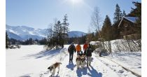 Winter walks with St-Bernards dogs