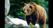 Bären – Zwischen Mythen, Meinungen und Wahrheiten