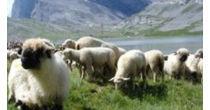 Shepherd Festival on the Gemmi