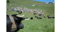 Cattle-drive to the alpine pastures of Moiry/Avoin in Grimentz