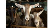 La vie des chèvres et du chevrier