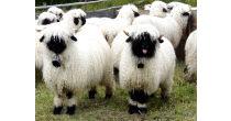 Fête des moutons