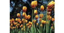 Tulip Festival - the Flower of Lake Geneva