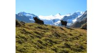 Summer in the montains, Visit of the high mountain pasture of Moiry