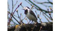 Vogelstimmenwanderung im Reservat Allmend Frauenfeld