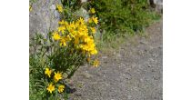 Workshop: Alpine medicinal plants in Valais