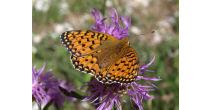 Alpine Schmetterlinge (Exkursion)