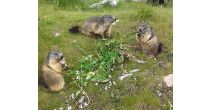 Déjeuner des marmottes aux Rochers-de-Naye
