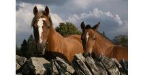 Le cheval des Franches-Montagnes – simplement faire connaissance