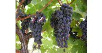 Weinbau in Valendas