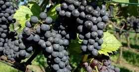 Visit wine festivals