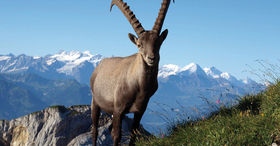 Ibex Safari - Supporting Programme