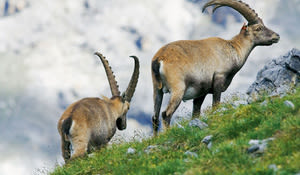 Ibex in the National Park, Graubünden