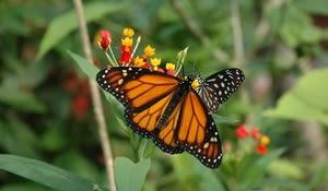 Papilionrama, Murten